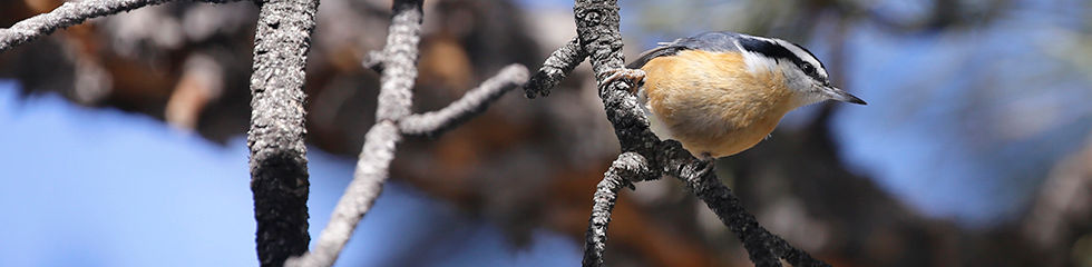 Red Breasted Nuthatch 8567.jpg