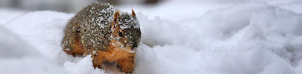 Fox Squirrel IMG_9751.jpg