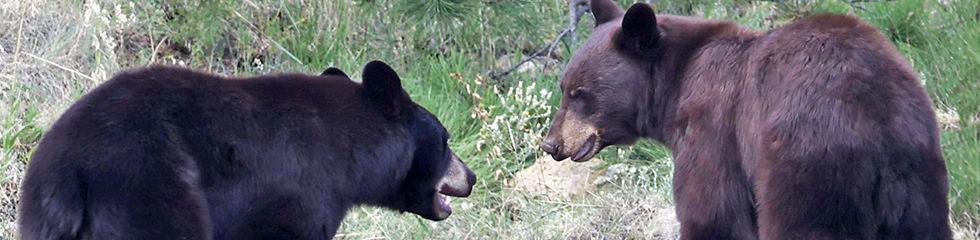 Bears on Baldy 4E6A7509.jpg