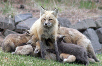 Red Fox Nursing Kits .jpg