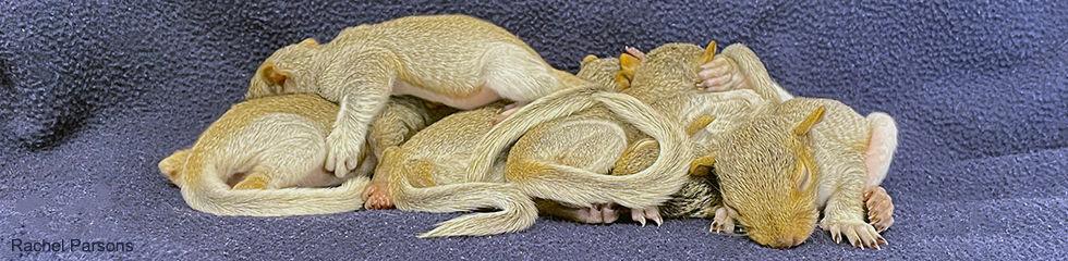 Gray Squirrel Juveniles D 3333.jpg