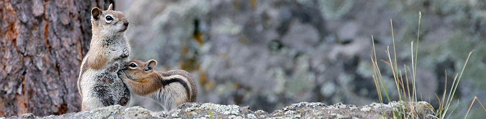Golden Mantled Ground Squirrel with Youn