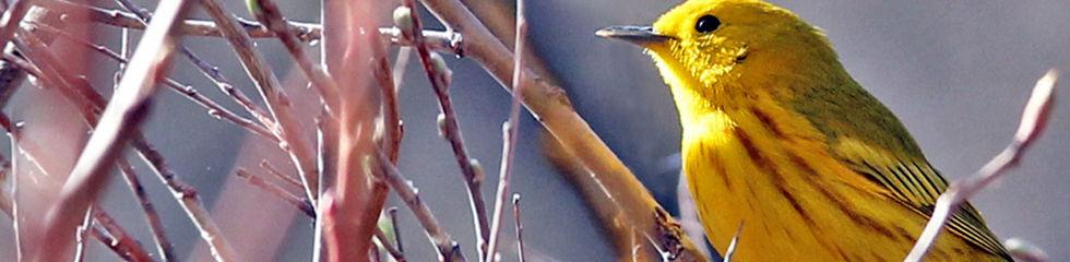 Yellow Warbler 0132.jpg
