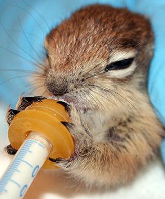 Golden Mantled Ground Squirrel Nursing.j