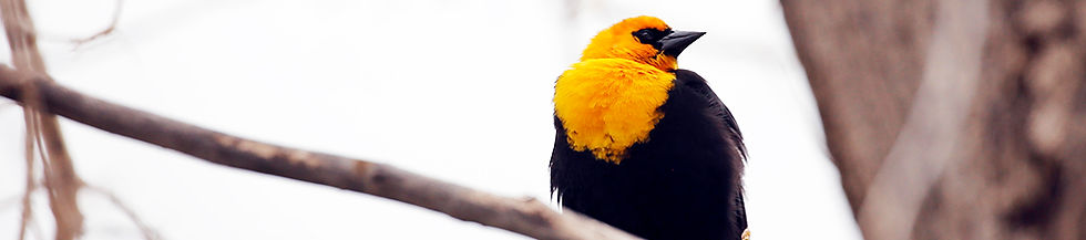 Yellow Headed Blackbird 2419.jpg