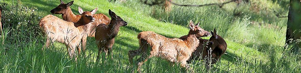 Elk Calves 0860.jpg