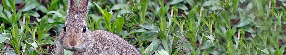 Cottontail.jpg