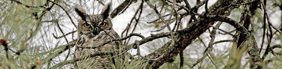 Great Horned Owl MG_5563.jpg