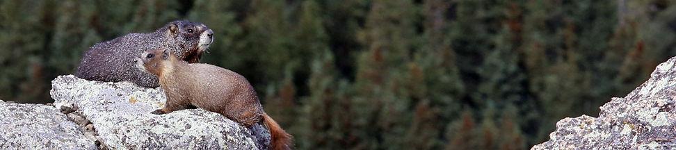 Marmot Pair 7746.jpg