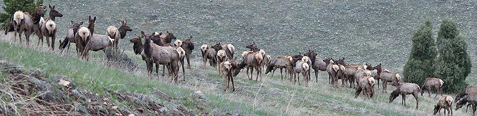 Elk Herd 0469.jpg