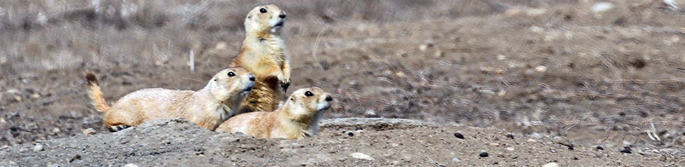 Black-tailed Prairie Dogs_MG_3312.jpg