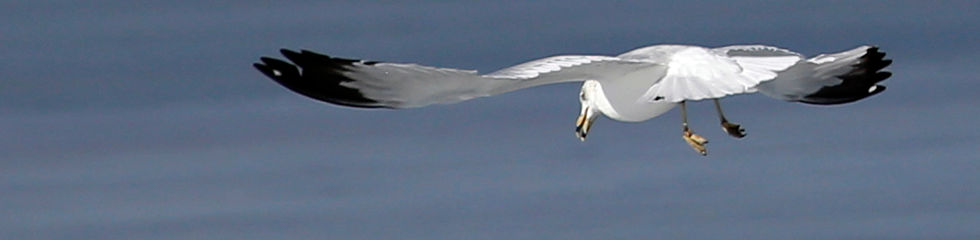 Ring Billed Gull MG_2855.jpg