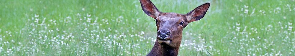 Elk Cow 9872.jpg