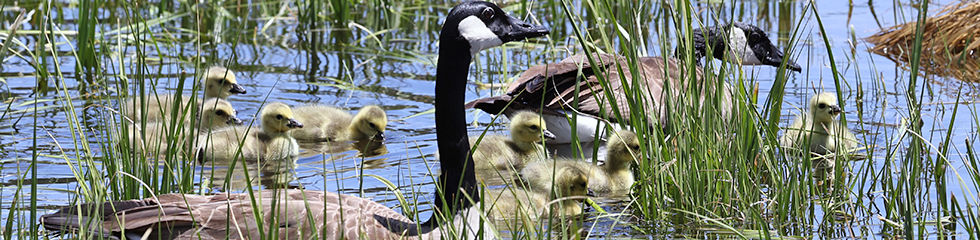 Canada Geese and goslings 4E6A4948.jpg