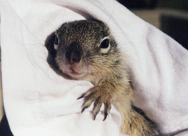 Rock Squirrel.jpg