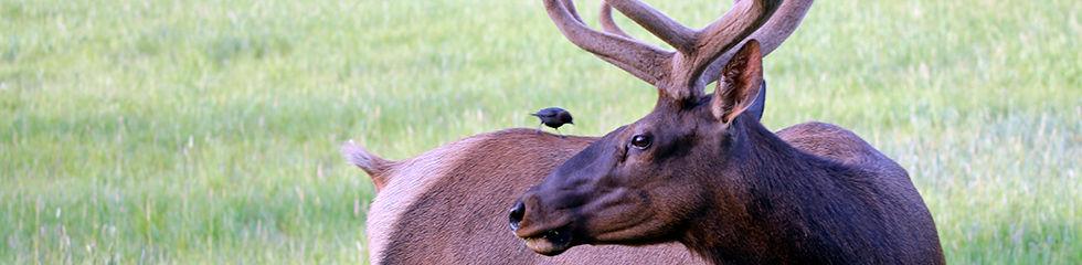 Bull Elk in Velvet 3351.jpg