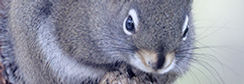 Pine Squirrel 4E6A1371.jpg