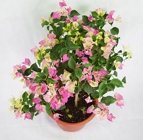 Pink Mixed White Bougainvillea