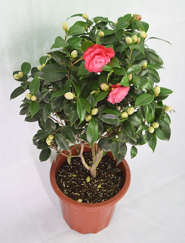 Camellia Light Red