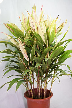 Cordyline sister white
