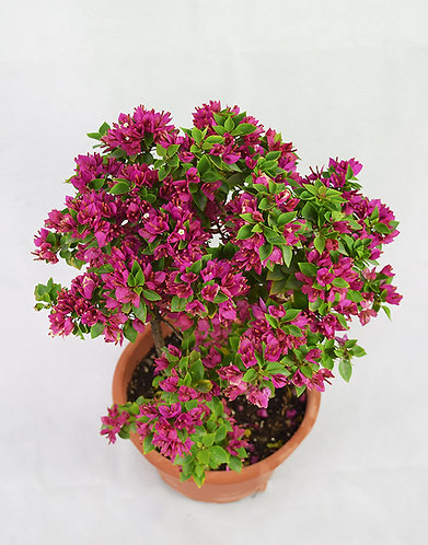 Small Purple Flower Bougainvillea