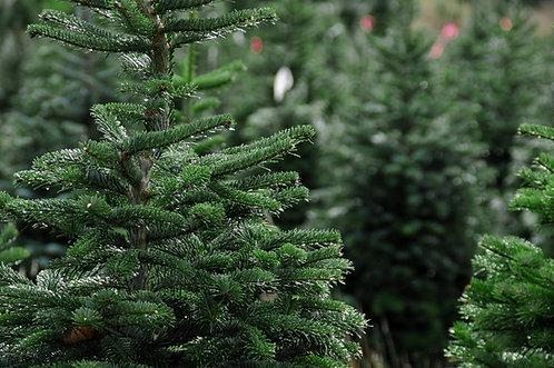 Fresh Cut Christmas Tree September Price