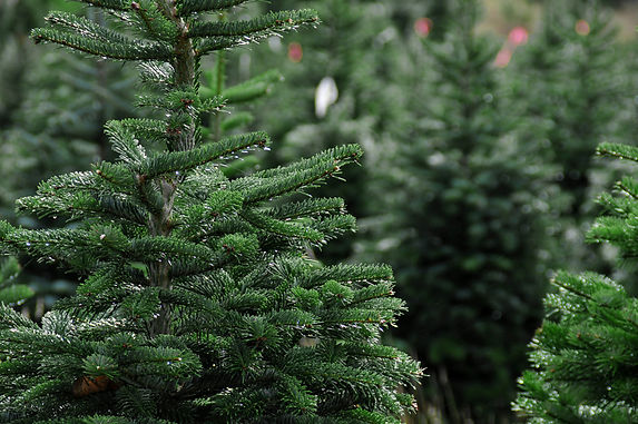 Fresh Cut Christmas Tree October Price
