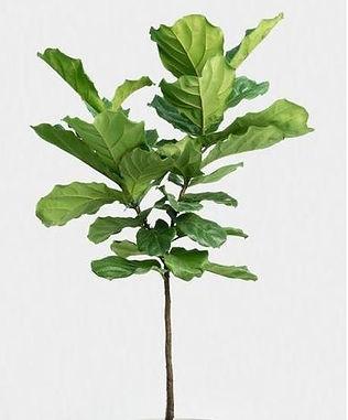 Ficus Pandurata Bush Tree Style