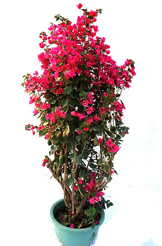 Bougainvillea Red Tower Style