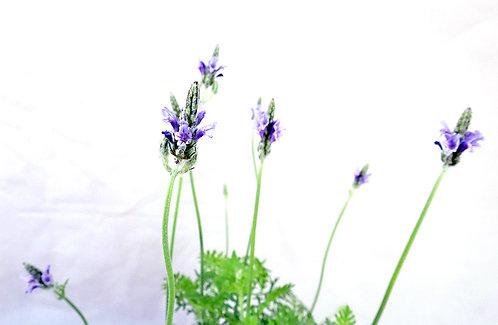 Lavender Pinnata