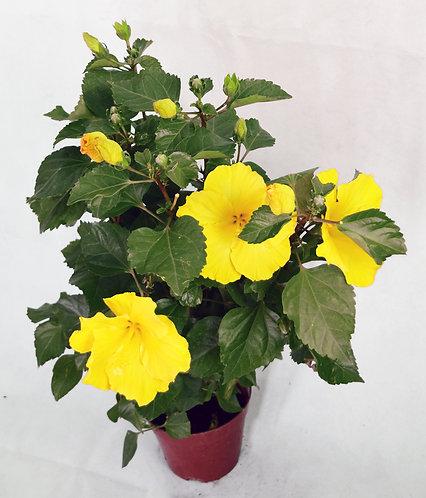 Hibiscus Yellow Flower