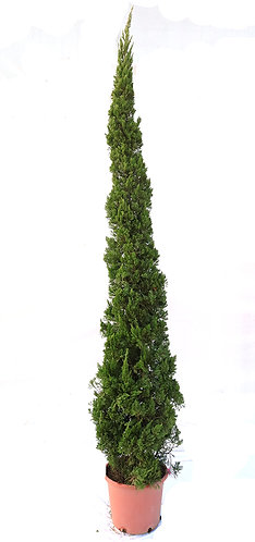 Dragon Chinese Juniper Tree
