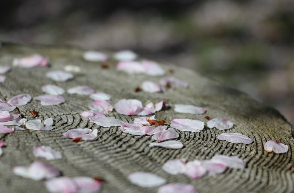 新潟 山北 中継しだれ桜