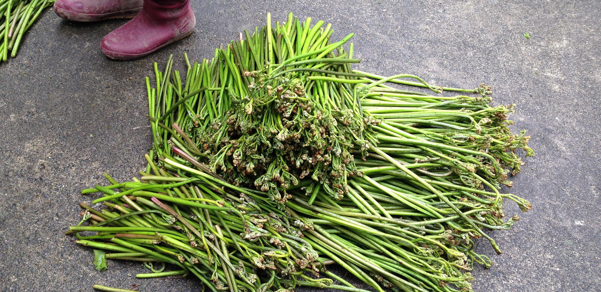 新潟 山北 山菜採り