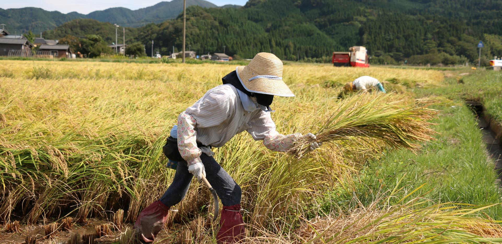 新潟 山北 稲刈 稲のはさ掛け