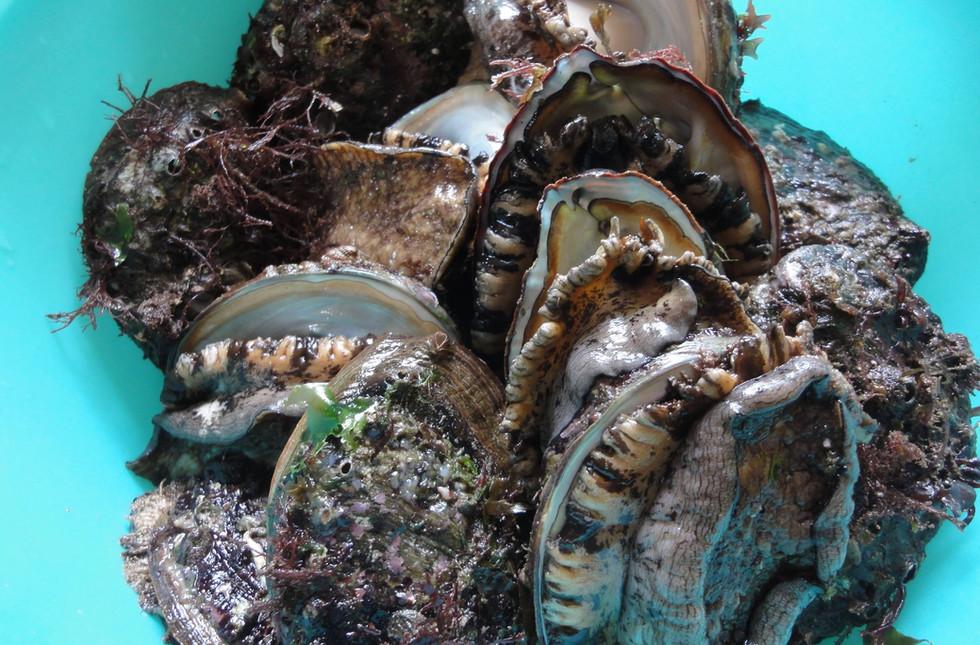 新潟 山北 牡蠣 アワビ 漁