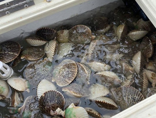 Recap: Opening Day of Scallop Season