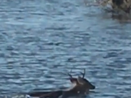Video: Why Did The Buck Cross The River?