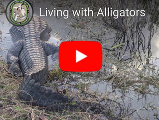 Watch: Living With Alligators