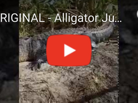 Watch Video of Alligator Jumping in Airboat!!!