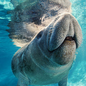Playful Manatee in Three Sisters Springs Crystal River FL
