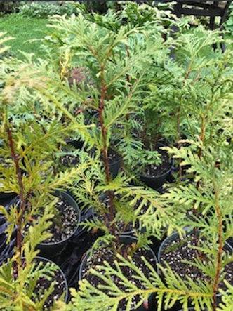 Arborvitae 'Green Giant' - Thuja 'Green Giant'