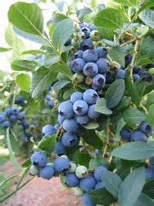 Blueberry 'Elliot'