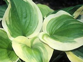 Hosta 'Sweet Innocence' (ppaf)