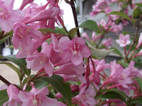 Weigela florida ' Pink Princess'