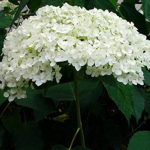 Hydrangea 'Annabelle' - Hydrangea arborescens