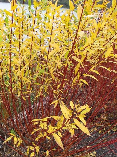 Salix 'Flame' Yellow