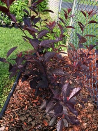 Purple Leaf Sand Cherry - Prunus X Cistena