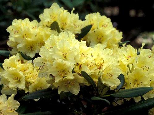 """Rhododendron 'Capistrano"""""""