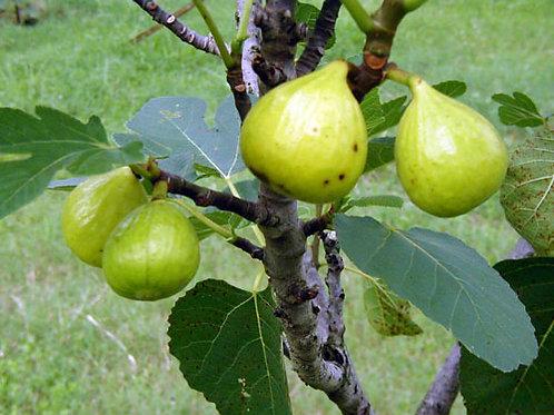 Ficus carica Ischia Fig